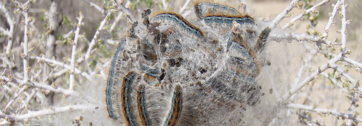 Forest Tent Caterpillars